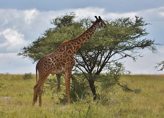 Serengeti National Park, Tanzanya: giraffe eating leaves from an acacia tree