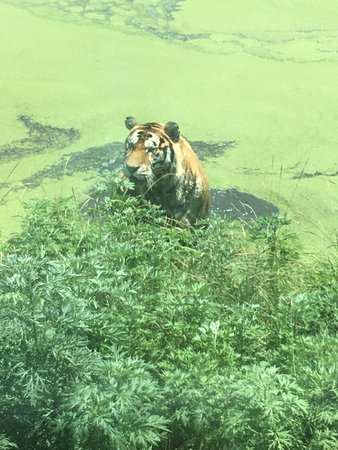 Tiger cooling off in a pond at the Guaipo Tiger park