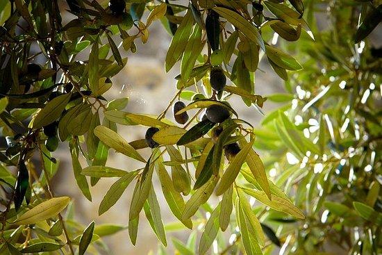 Olivenolje Produksjon & Plantasje...