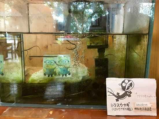 元気に泳ぎ回るシラスウナギの水槽 - 松阪市、松阪うなぎのまつもとの ...