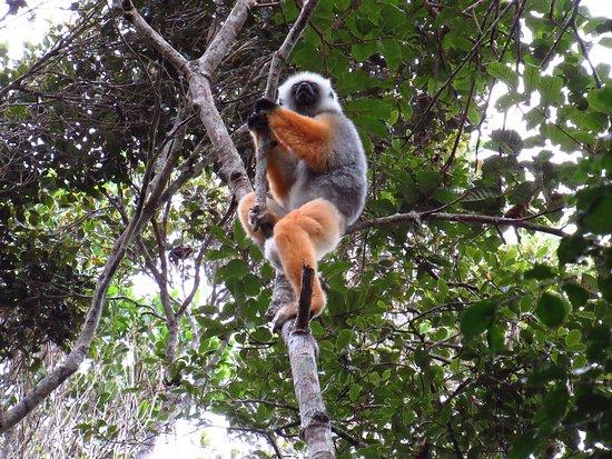 Andasibe-Mantadia National Park: Sifaka lemur (wild)