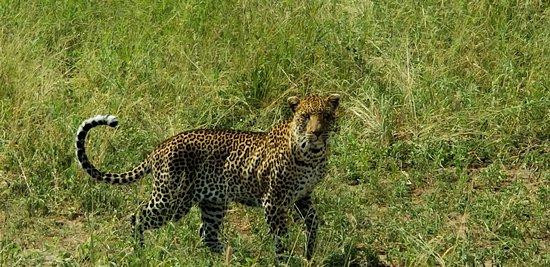 Tanzanya: Male leopard, in Tanangiri National Park
