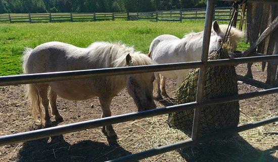 Cedar Mountain Farm Bed and Breakfast: Cute miniature horses!