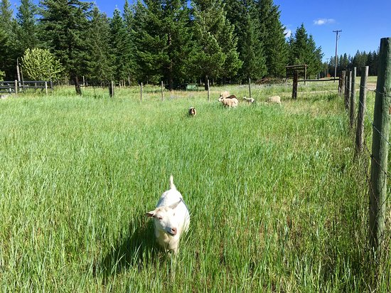 Cedar Mountain Farm Bed and Breakfast: Friendly goat coming to say hello...