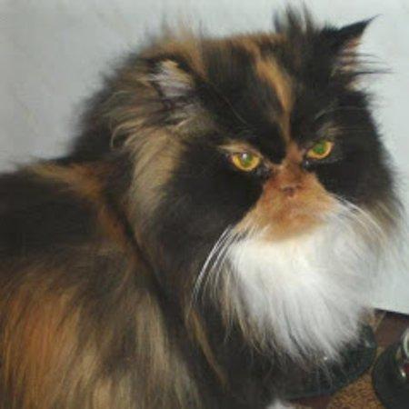 Pordic, فرنسا: Je toilette également les chats tel que: Persan, Main Coon, Sacré de Birmanie...