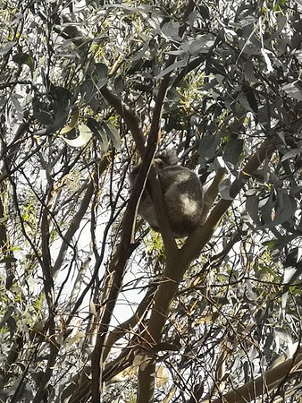 Great Ocean Road 12 Apostles Reverse Tour: Koala