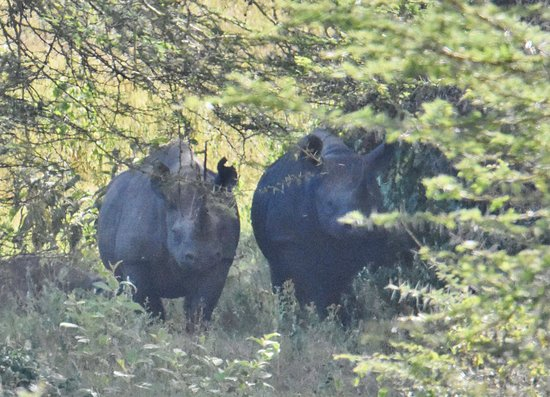 Ngorongoro Crater: rhinos in the forest