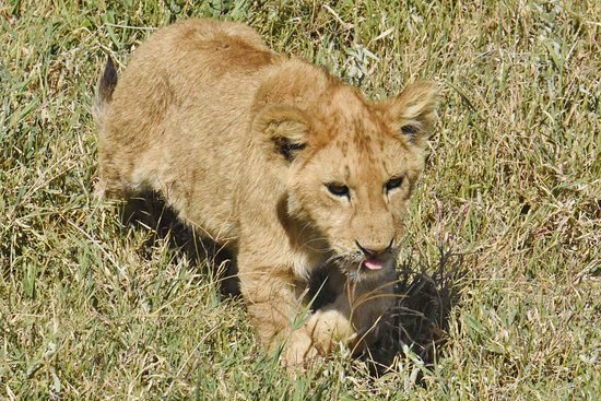 Ngorongoro Crater: lion cub walking to its mother