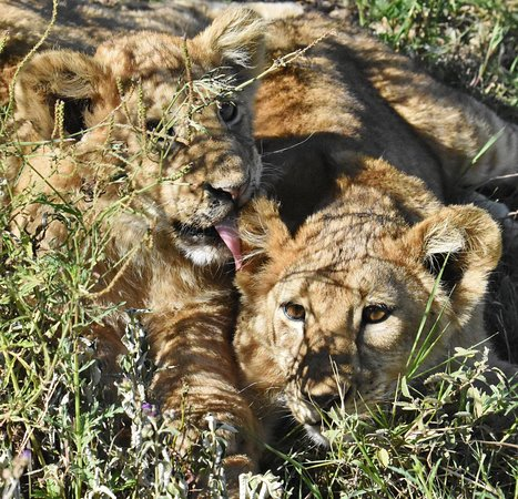Ngorongoro Crater: lion cub licking the ear of another one