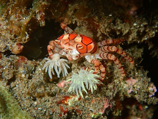Exceptional diving in Bali: crab