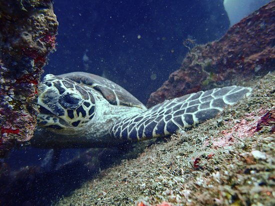 Exceptional diving in Bali: turtle on liberty