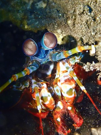 Exceptional diving in Bali: mantis shrimp