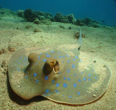 Blue Spotted Sting Ray. - Sharm El Sheikh ( Egypt )
