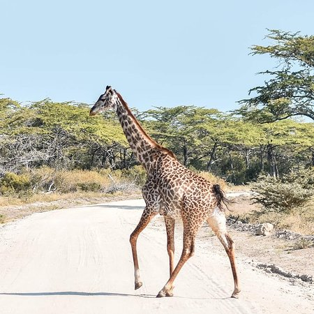 Safari 56