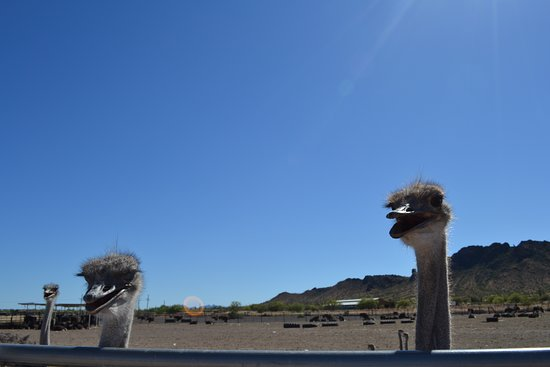 Ostriches are funny, they just are!