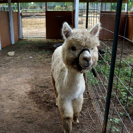 Melanie, one of the incredible Alpaca's that call Yule Forest home.