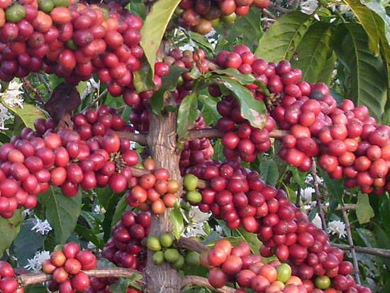 COFFEE is Uganda's top-earning export crop. In 1989 Uganda's coffee production capacity exceeded its quota of 2.3 million bags, but export volumes were still diminished by economic and security problems, and large amounts of coffee were still being smuggled out of Uganda for sale in neighbouring countries.#tour with us through the different community and nature walks around uganda for clear views of #Uganda's main #cashcrops #kapchorwa #Mbale #book a trip with us now to sipi falls