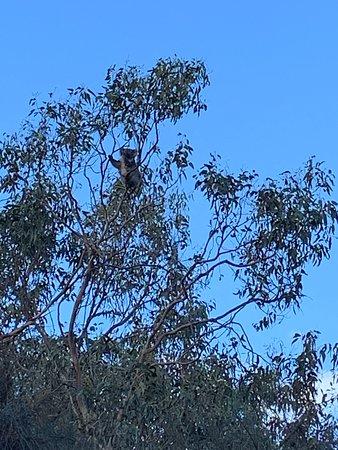 Small Group - 12 Apostles, Otways & Great Ocean Road Day Tour from Melbourne: Koala!