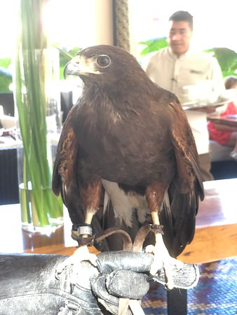 Falcon who keeps local dining areas bird-free