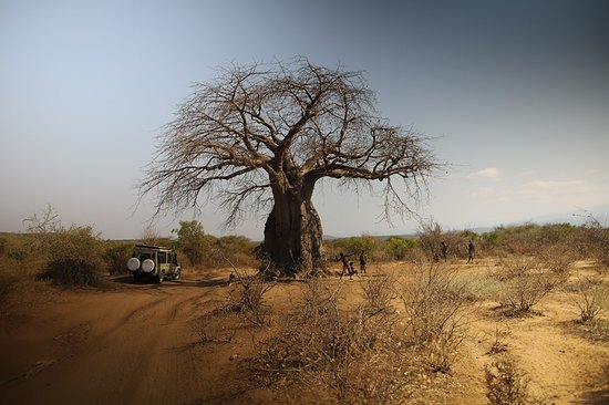 """This is the Baobab tree. They also call these """"upside down trees"""" because the limbs look like upside down roots. The trunks are huge (some tribes live inside the trees during the rain season)."""