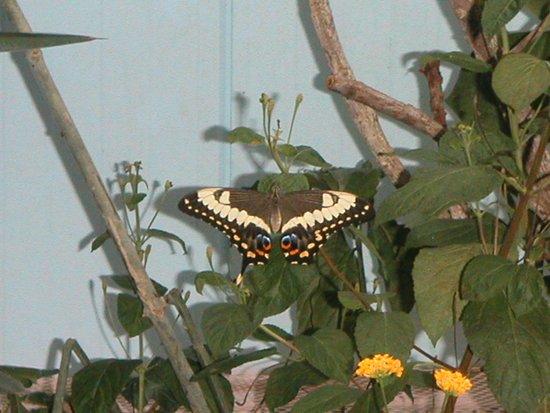 Papiliorama: Бабочка 