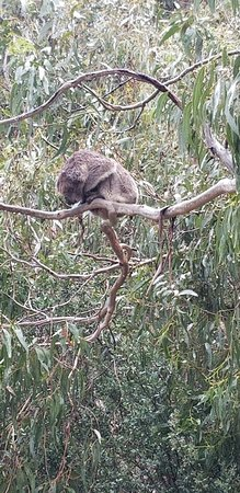 Kennett River, Australia: One of the stops on the Great Ocean Road-  small group  tour by Go West  Saw two wild Koalas