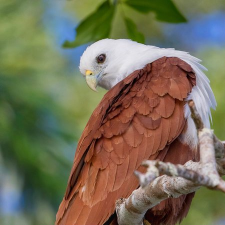 Brahminy Kite looking alright