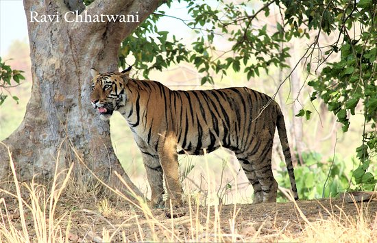 ‪‪Tadoba Andhari National Park‬: Surya the male sub adult‬