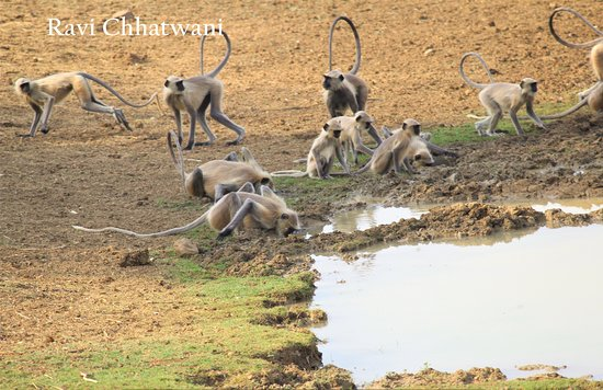 ‪‪Tadoba Andhari National Park‬: Group of langurs‬