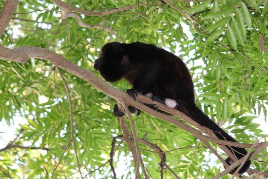 Lake Nicaragua, Nicaragua: More monkey business