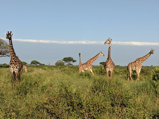 Gosheni Safaris Africa: so many giraffes up close in Tarangire