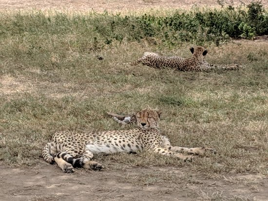 Gosheni Safaris Africa: cheetahs chilling in Serengeti, they didn't care that multiple land cruisers surrounded them