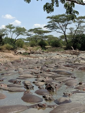 Gosheni Safaris Africa: hippo pool in Serengeti, smelly but a cool sight!