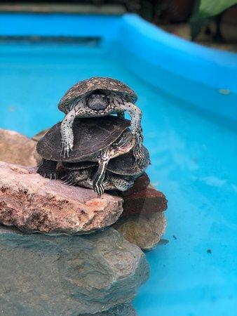Estanque de tortugas, en Cuba llamadas jicoteas. En el Hostal Torralbo amamos los animales.