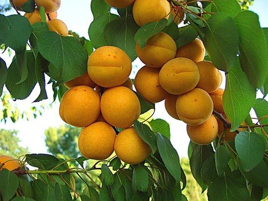 Akhalkalaki, Gürcistan: Армянский абрикос