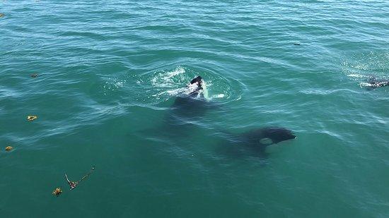 Juneau Whale Watching Tour: Orcas