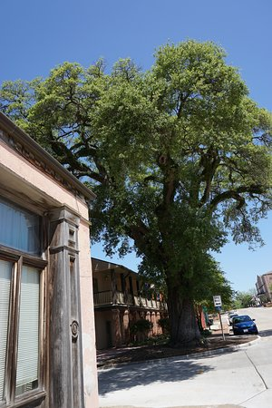Historic District Shopping: Over 200 year old tree on Second Street