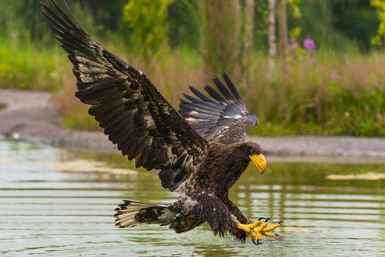 Scandinavian Wildlife Park: Oplev et helt anderledes ørneshow, hvor der virkelig er luft under vingerne,