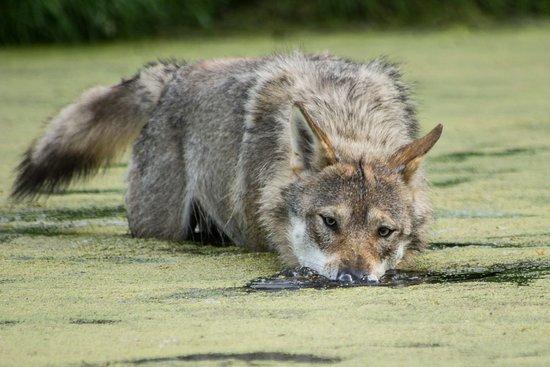 Scandinavian Wildlife Park: Ulveparken har alt hvad et ulvehjerte begærer. Inkl en lækker sø, som man kan soppe i.
