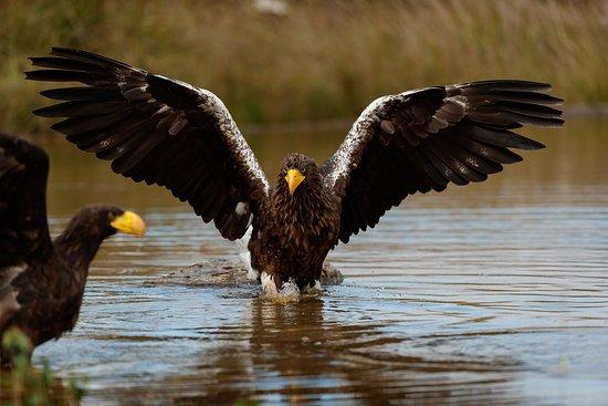 Scandinavian Wildlife Park: Havørnene fisker i det lave vand til det daglige ørneshow. Det er fantastisk at være så tæt på et så imponerende en fugl.
