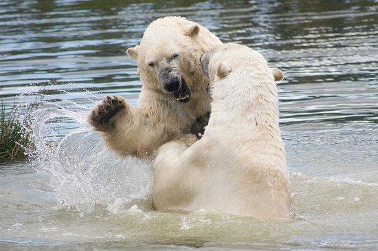 Scandinavian Wildlife Park: Isbjørnene elsker at lege i deres store sø.