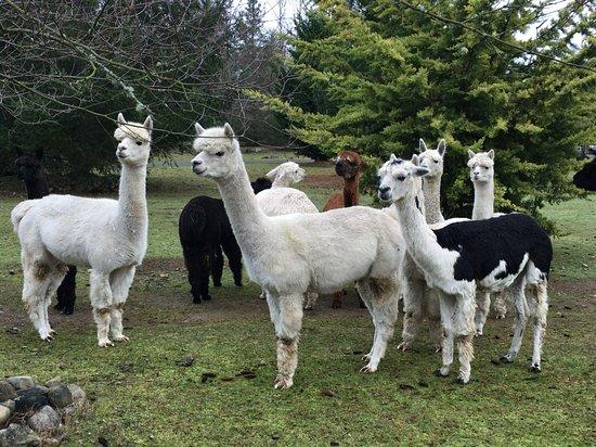 Tahoma Vista Fiber Mill and La Vida Alpaca