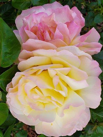Coquille, Oregon: Roses