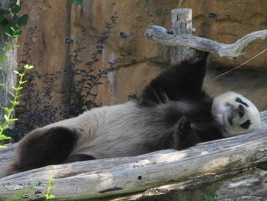 Skip the Line: ZooParc de Beauval Entrance Ticket: Panda fatigué.....
