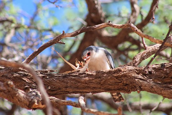 Pygmy Falcon with a kill