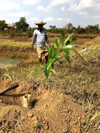 Kampong Thom, Cambodia: Planting mango trees.