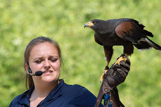 Harris hawk with trainer at flying demo
