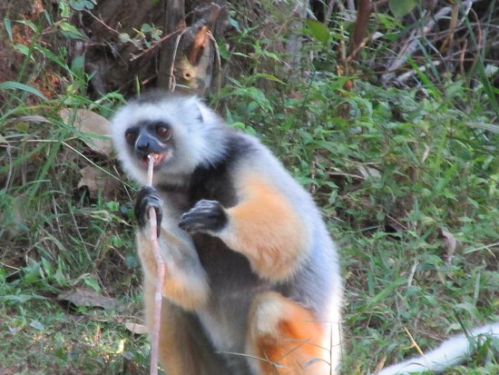 Another lemur at Vakona Lodge Resort