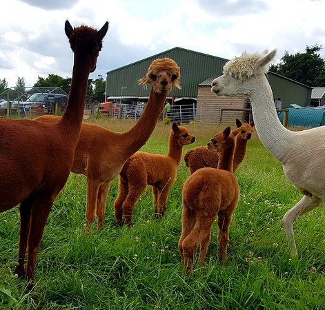Abbotts View AlpacasAbbotts View Farm