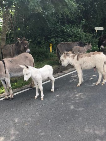 The donkeys causing their usual traffic chaos